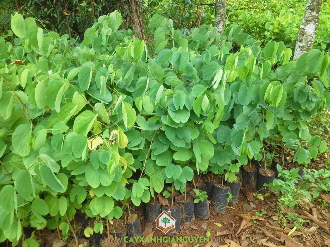Móng Bò Tím, Lan Hoàng Hậu, Hoa Ban Tím, Bauhinia Purpurea, Cây Công Trình