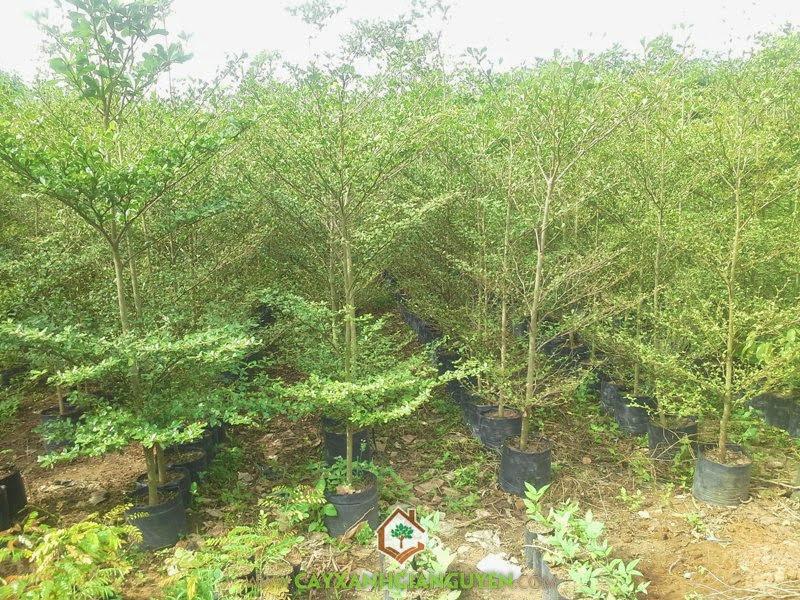 Bàng Đài Loan, Cây Công Trình, Bàng Lá Nhỏ, Bucida molineti, Terminalia molineti