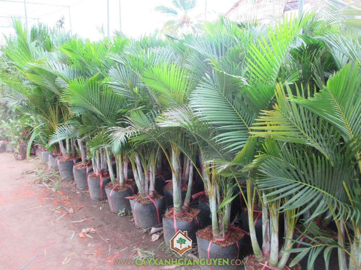 Cau bụi vàng, Chrysalidocarpus lutescens Wendl, cây công trình, cây xanh gia nguyễn, Cau Vàng