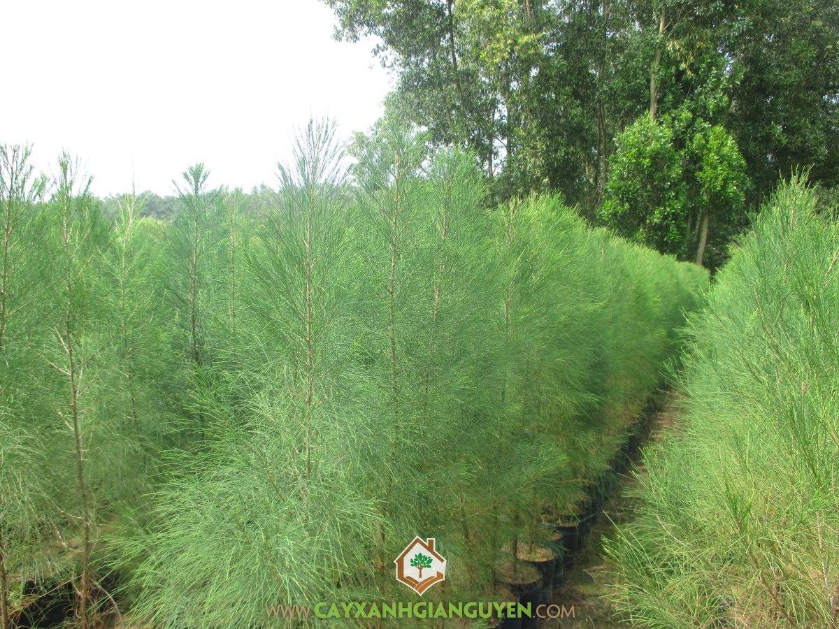 Phi Lao, Dương Liễu, Thông, Xì Lau, Casuarina Equisetifolia