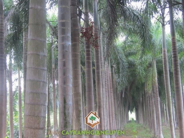 Cau đuôi chồn, cây công trình, Cây Xanh Gia Nguyễn, Cau Cảnh, Normanbya Normanbyi