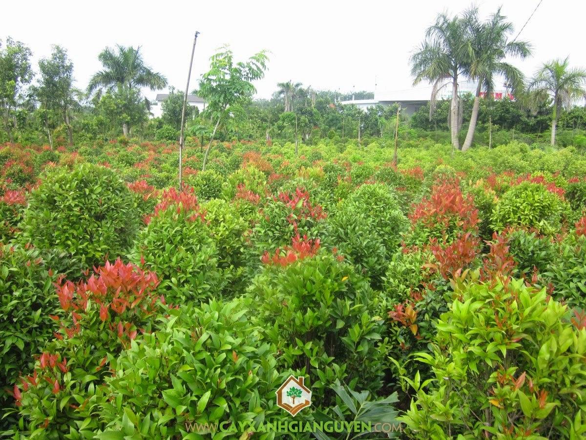 Hồng Lộc, Cây Xanh Gia Nguyễn, Cây Công Trình, Syzygium oleinum, Syzygium campanulatum