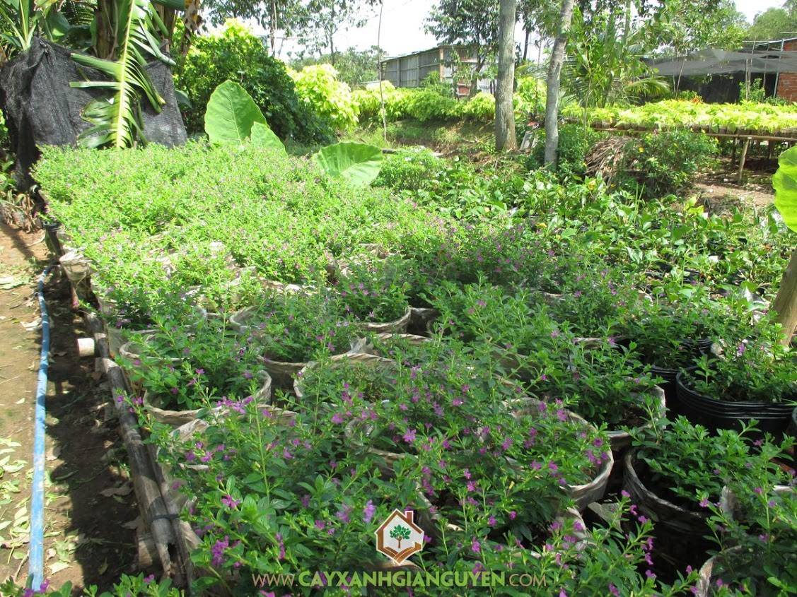 Cuphea Hyssopifolia, Cẩm Tú Mai, Tiểu Hồng, Cây Viền Nền, Cây Công Trình