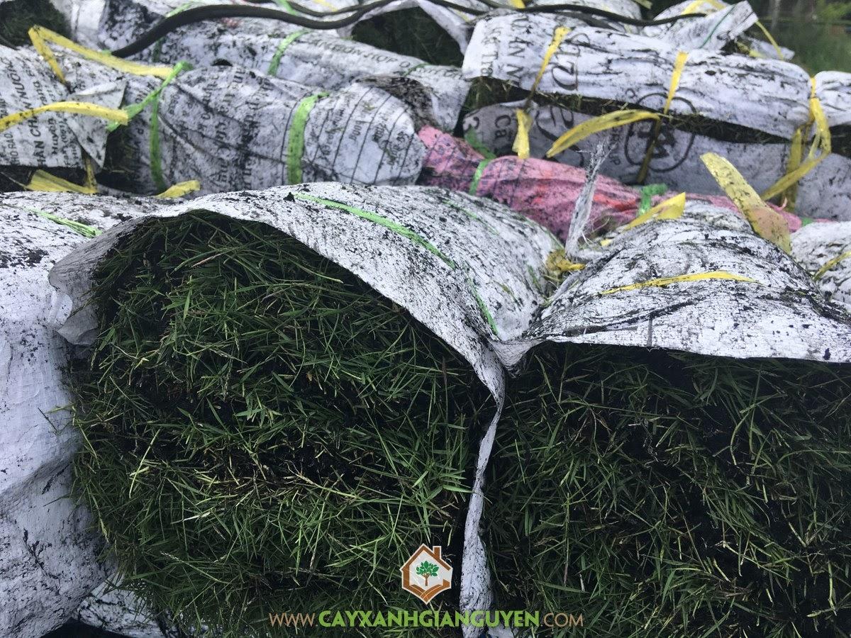 Zoysia Japonica, Cỏ Nhung, Cỏ Nhung Nhật, Cỏ Sân Vườn, Cây Công Trình