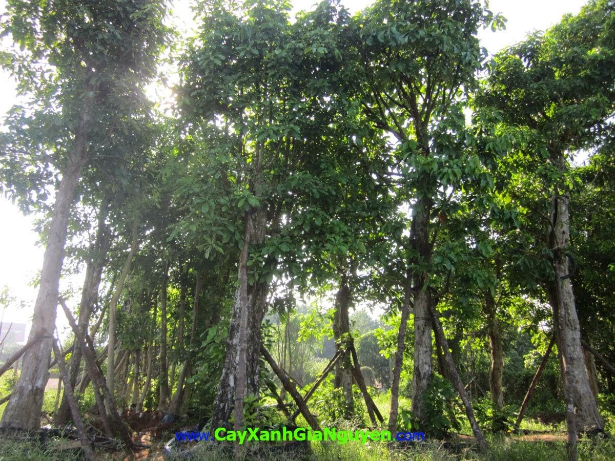 Lộc Vừng, Chiếc, Lộc Mưng, Barringtonia Acutangula, Cây Công Trình