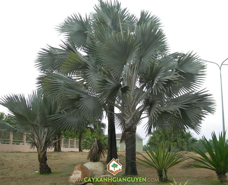 Kè bạc, cây công trình, cây tạo cảnh, Cây Xanh Gia Nguyễn, Bismarckia Nobilis