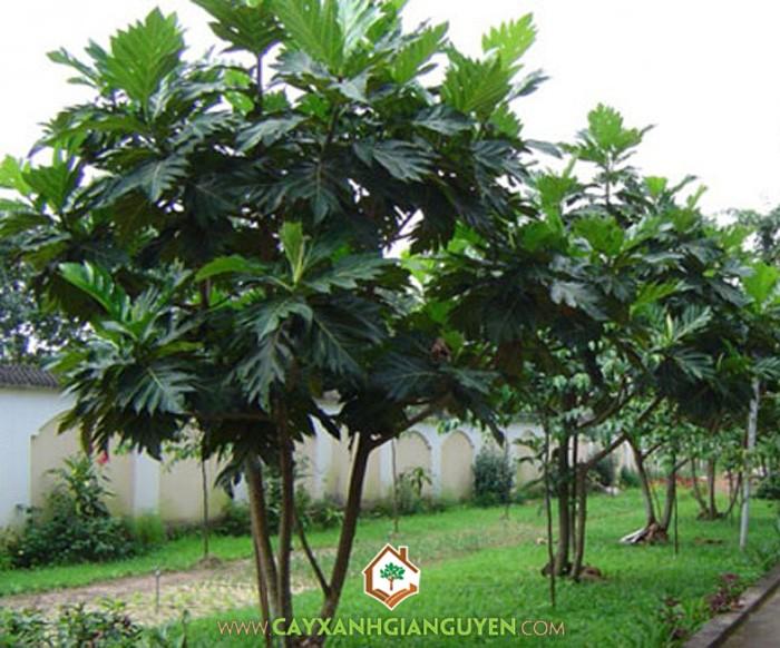 Sa Kê, Xa Kê, Bánh Mì, Artocarpus Altilis, Cây Công Trình