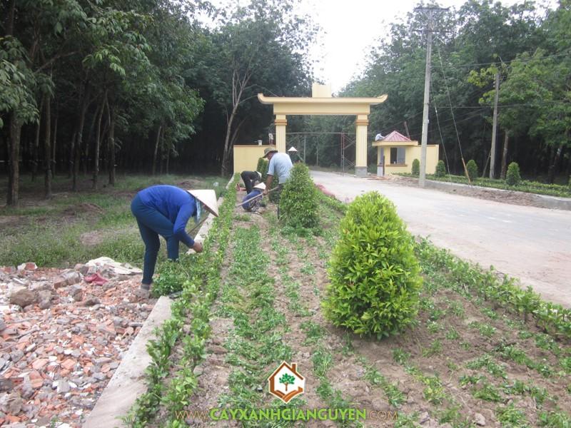 Cây Xanh Gia Nguyễn, trồng cây, cây xanh, cây công trình, nghệ thuật, Nguyễn Công Quang