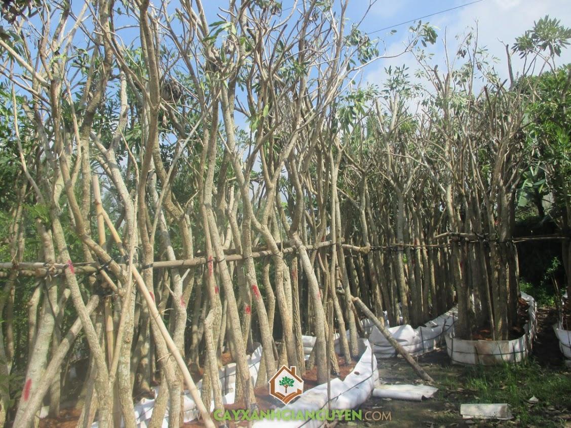 Chuông vàng, Cây Xanh Gia Nguyễn, Cây công trình, cây bóng mát, Tabebuia Argentea