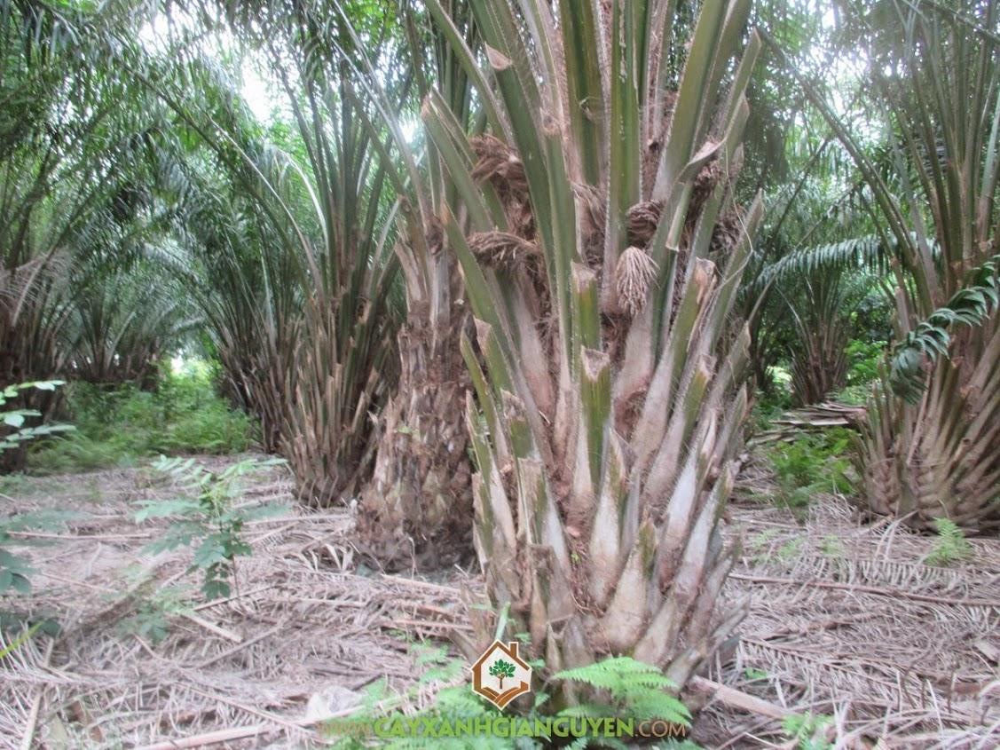 Cọ Dầu, Dừa Dầu, Elaeis, Cây Công Trình, Cây Xanh Gia Nguyễn