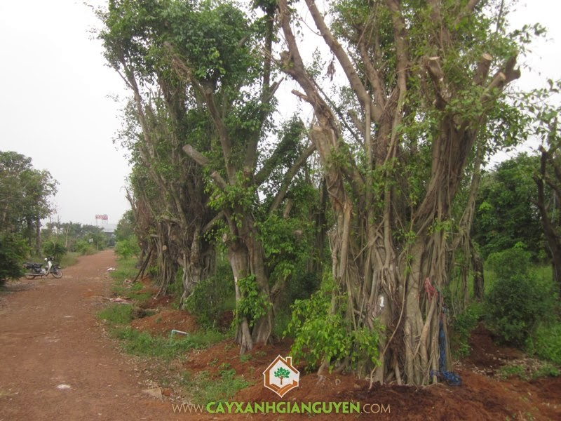 Sanh, Si, Gùa, Ficus benjamina L, Cây Công Trình