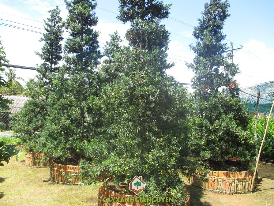 Tùng La Hán, La Hán Tùng, Thông La Hán, Vạn Niên Tùng, Podocarpus Macrophyllus