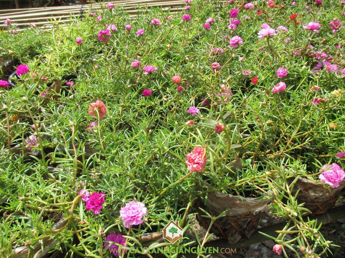 Hoa mười giờ, rau sam hoa lớn, Hoa Tý Ngọ, cây công trình, Portulaca Grandiflora