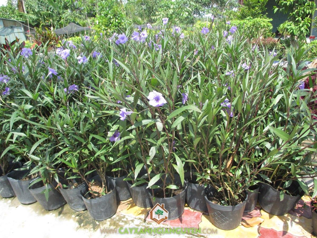 Thạch thảo, Thạch thảo tím, Nhất xinh, Chiều tím, Ruellia Brittoniana