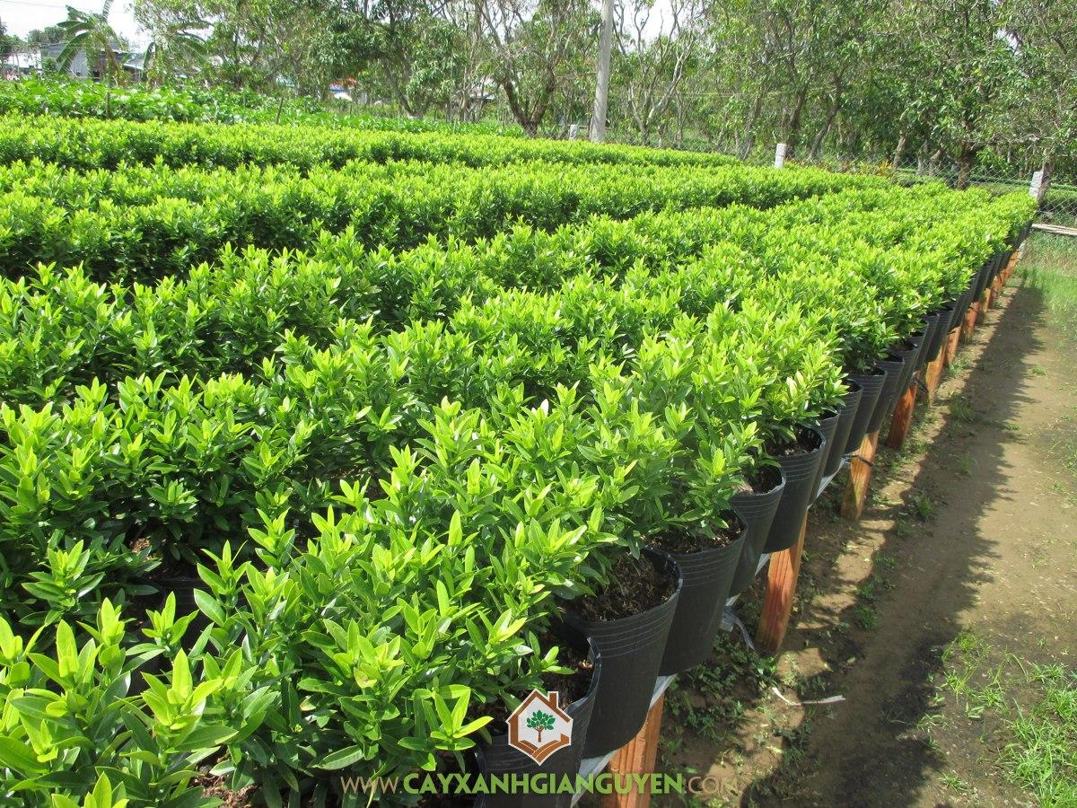 Bông Trang, Mẫu Đơn Đỏ, Long Thuyền Hoa, Nam Mẫu Đơn, Ixora spp