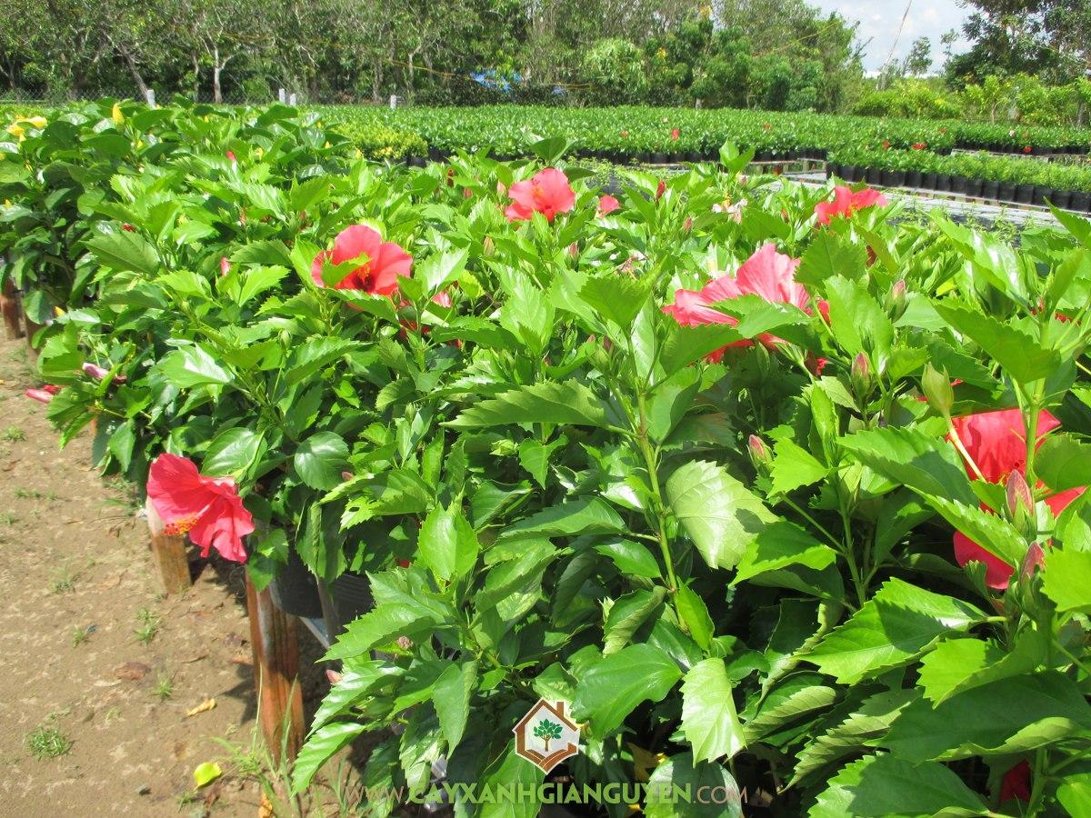 Dâm Bụt, Bông Bụp, Bụp Đơn, Bông Lồng Đèn, Hibiscus rosa-senensis