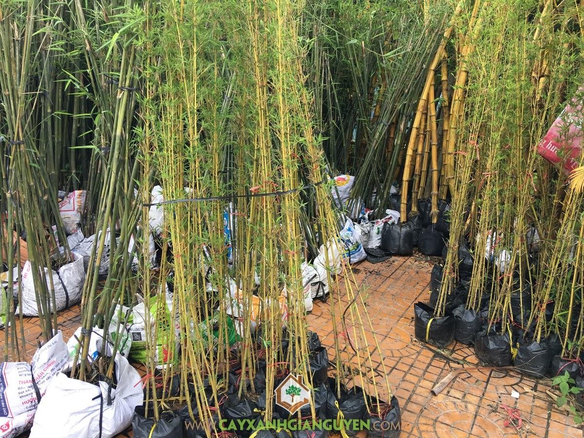 Trúc Quân Tử, Tre Hàng Rào, Bambusa multiplex, Cây Sân Vườn, Cây Tạo Cảnh