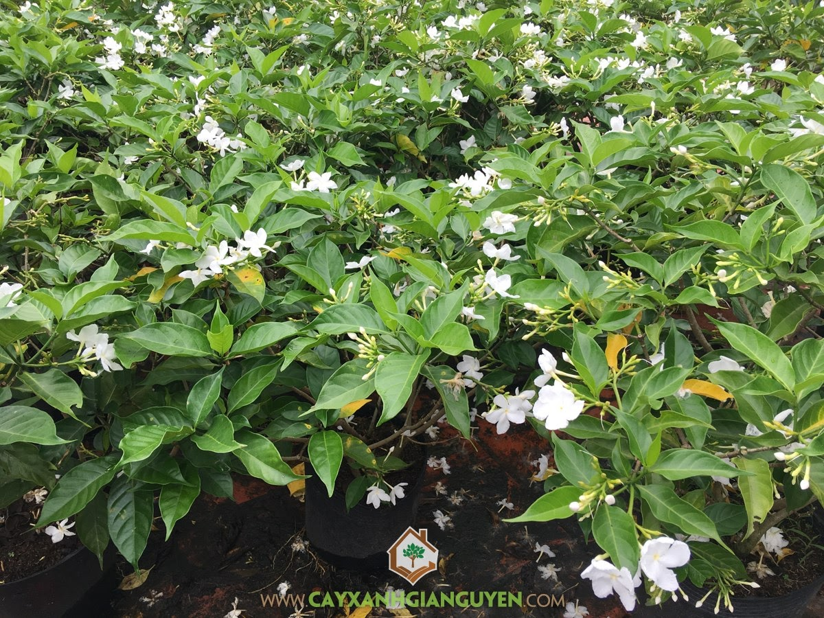 Hoa Lài Tây, Ngọc Bút, Lài Trâu, Tabernaemontana Divaricata, Cây Công Trình