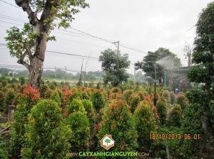 cây hồng lộc, tưới cây hồng lộc, cây giống, cây công trình, chế độ tưới nước, cây xanh gia nguyễn
