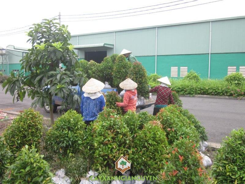 Cây Xanh Gia Nguyễn, Cây Hồng Lộc, Cây Nguyệt Quế, cây công trình, Dinh Thự