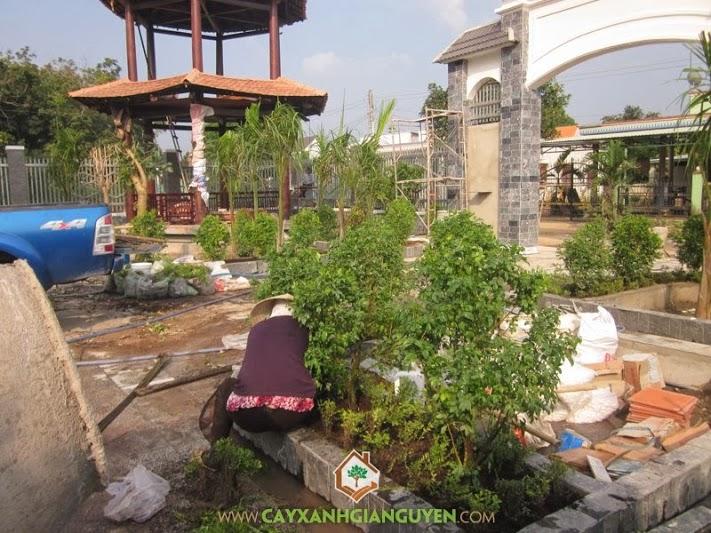 Cây Xanh Gia Nguyễn, cây công trình, cây nguyệt quế, cây hồng lộc, Bến Cát, Bình Dương