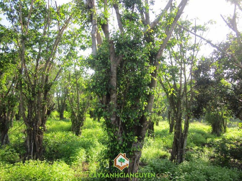 cây sanh, cây cảnh, cây công trình, trồng cây xanh, cây si