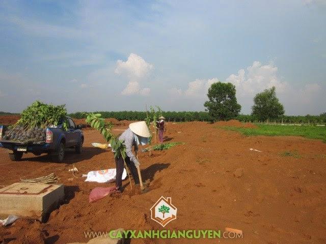 Cây Xanh Gia Nguyễn trồng cây ở KCN Bắc Đồng Phú