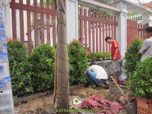 Cây Xanh Gia Nguyễn trồng cây công trình cho khách hàng.