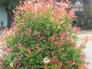 Cây Xanh Gia Nguyễn cung cấp cây Hồng Lộc.