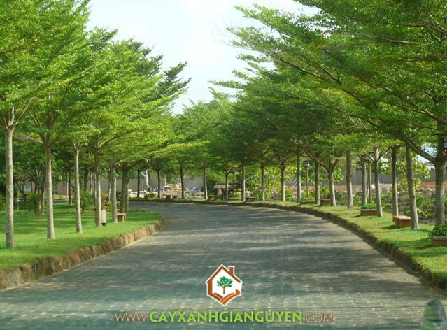 Cây Bàng Đài Loan được trồng ở các tuyến đường phố.