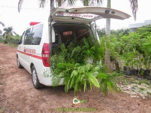 Cây Xanh Gia Nguyễn cung cấp cây cho khách hàng.Cây Xanh Gia Nguyễn cung cấp cây cho khách hàng.