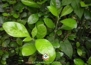 Cây Xanh Gia Nguyễn- Cây Hắc Ó