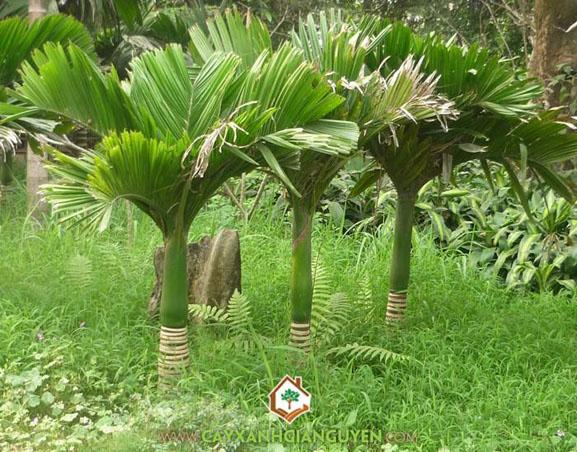 cây công trình, cây tre, cây cau, cây cảnh dáng đẹp, cây leo dàn, vườn ươm cây xanh Gia Nguyễn