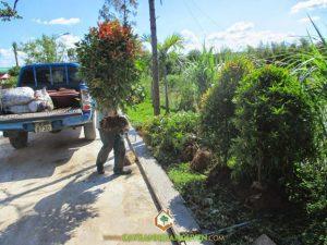 cây xanh Gia Nguyễn, cung cấp cây giống, cây giống, cây hồng lộc, vườn ươm cây xanh Gia Nguyễn, cây công trình