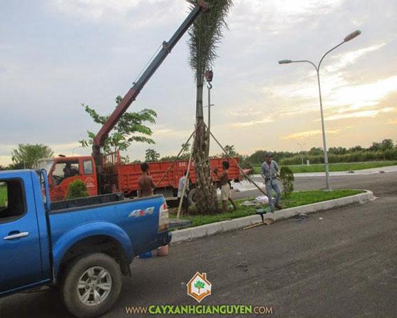 cây xanh Gia Nguyễn, cây công trình, cây cọ dầu, cây giống, công ty cây xanh Gia Nguyễn, vườn ươm cây xanh Gia Nguyễn