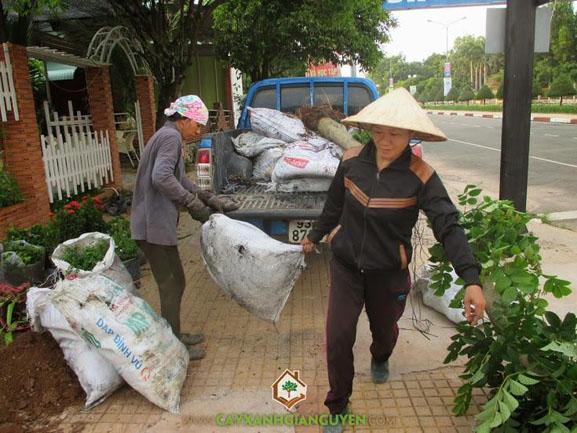 cây xanh Gia Nguyễn, cây giống, cây chuối mỏ két, cây cẩm tú mai, cây công trình, vườn ươm cây xanh Gia Nguyễn