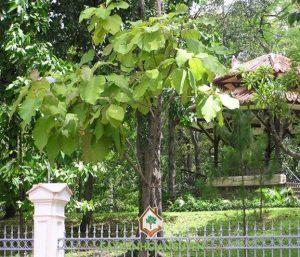 cây công trình, cây giá tỵ, cây lát hoa, cây bàng đài loan, cây thông, cây sanh