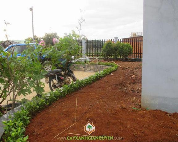 cây xanh Gia Nguyễn, cây công trình, cây hồng lộc, cây mai Hà Lan, trồng cây công trình, vườn ươm cây xanh Gia Nguyễn