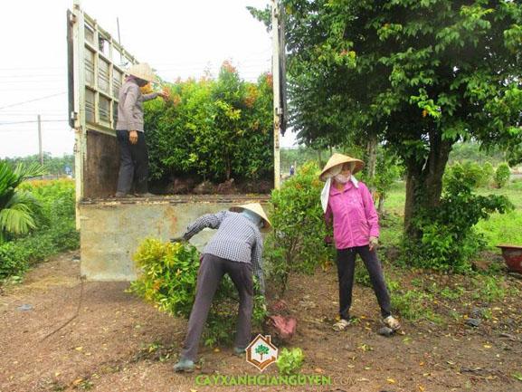 cây xanh Gia Nguyễn, cây công trình, cây hồng lộc, cung cấp cây giống, vườn ươm cây xanh Gia Nguyễn, công ty cây xanh Gia Nguyễn