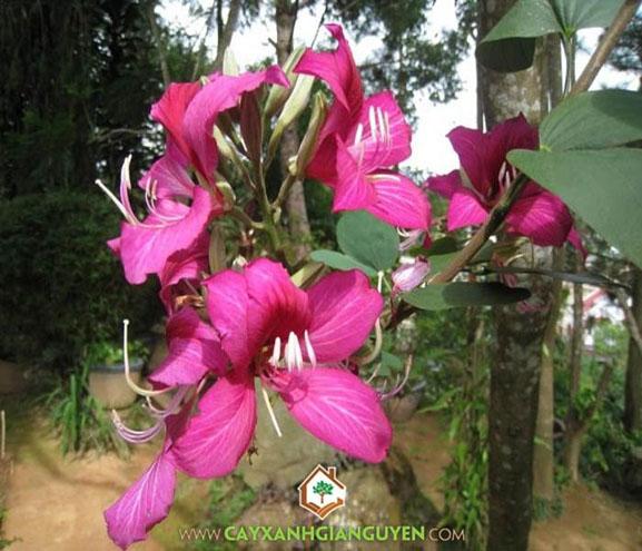cây xanh Gia Nguyễn, cây công trình, móng bò tím, bò cạp vàng, bằng lăng tím, cây vàng anh, cây osake đỏ