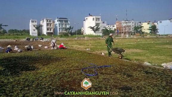 Cây Xanh Gia Nguyễn, cây công trình, cỏ lá gừng, trồng cỏ lá gừng, lá gừng, KDC 9B4 - Dương Hồng