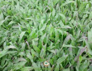 cây công trình, thảm cỏ, cỏ lá lạc, cỏ nhung nhật, cỏ lá gứng, cỏ xuyến chi
