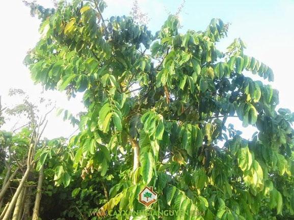 cây xanh, cây bàng đài loan, cây giá tỵ, cây giáng hương, cây bò cạp vàng