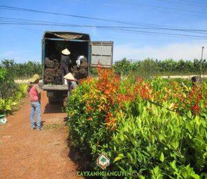 cây xanh Gia Nguyễn, cây công trình, cung cấp cây công trình, cây hồng lộc, cây cau vua, cây cau bụng