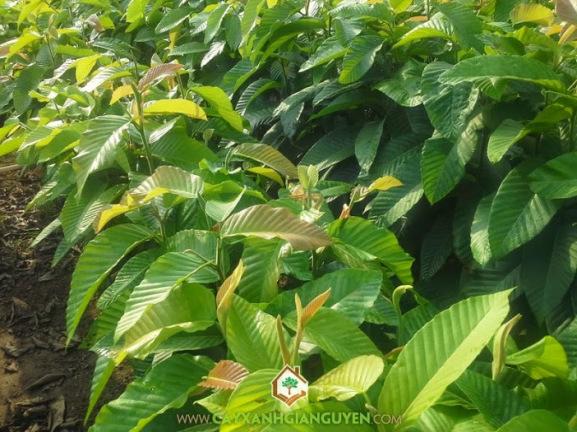 cây xanh, cây xà cừ, cây giáng hương, cây me tây, cây lim xẹt, cây bằng lăng tím