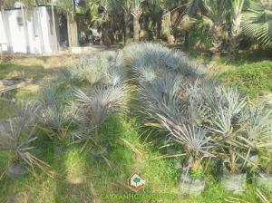 cây xanh Gia Nguyễn, cây công trình, kè bạc, cung cấp cây công trình, vườn ươm cây xanh Gia Nguyễn