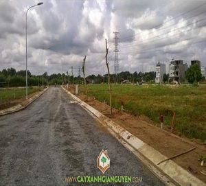 cây xanh Gia Nguyễn, công ty cây xanh Gia Nguyễn, cây osake đỏ, cây công trình, khu dân cư, vườn ươm cây xanh Gia Nguyễn