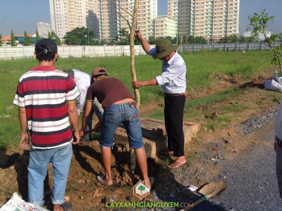cây công trình, hướng cây mọc, cách cắt rễ, giữ cây chắc, đắp mô đất, cắt đọt non, nước vừa phải