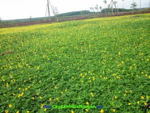 cỏ lá lạc,thảm cỏ, cây bụi, cây công trình, đô thị, Cây xanh Gia Nguyễn