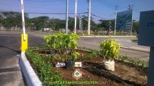 cây lá trắng, cây công trình, cây xanh Gia Nguyễn, cây trồng viền, hướng dẫn cắt tỉa